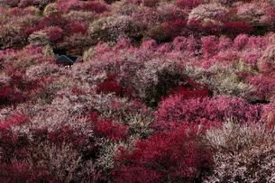 3月 いなべ市農業公園の梅林の写真素材 [FYI01780872]
