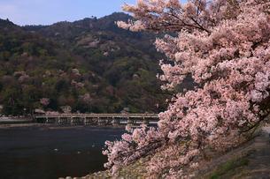 4月 桜の嵐山渡月橋  -京都の春-の写真素材 [FYI01780880]