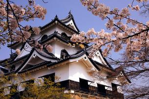 4月 桜咲く彦根城天守閣の写真素材 [FYI01780894]