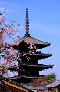 3月 枝垂桜の八坂の塔-京都東山の風景-の写真素材 [FYI01780916]
