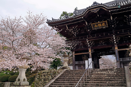 4月 桜の粉河寺 -紀州のサクラ-の写真素材 [FYI01780972]