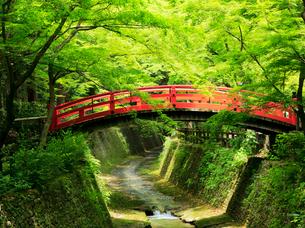 5月 新緑の北野天満宮のもみじ苑の写真素材 [FYI01780987]