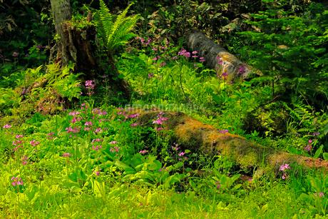 6月 ノンノの森  北海道セラピーの森の写真素材 [FYI01780988]