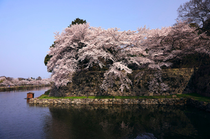 4月 桜咲く彦根城のお堀の写真素材 [FYI01781031]