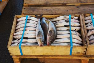 常呂漁港のホッケの荷揚げの写真素材 [FYI01781143]