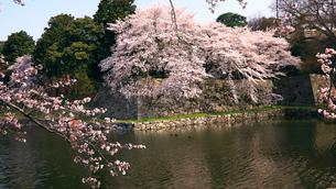 4月 桜咲く彦根城のお堀の写真素材 [FYI01781150]