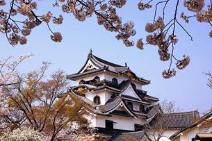 4月 桜咲く彦根城天守閣の写真素材 [FYI01781158]