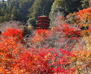 11月 紅葉の長谷寺 大和の秋景色の写真素材 [FYI01781252]