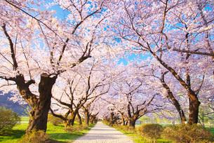 北上展勝地の桜の写真素材 [FYI01781255]