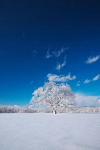 樹氷のはるにれの木の写真素材 [FYI01781301]