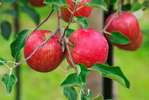 リンゴの写真素材 [FYI01781397]