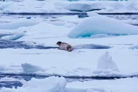 流氷とゴマフアザラシの写真素材 [FYI01781604]