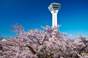 五稜郭公園の桜と五稜郭タワーの写真素材 [FYI01781762]