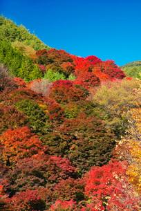 もみじ湖の紅葉の写真素材 [FYI01781766]