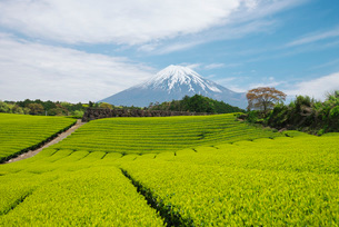 富士山と茶畑の写真素材 [FYI01781819]