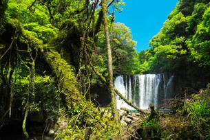 霧降の滝とコケの巨木の写真素材 [FYI01781941]