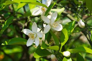夏みかんの花の写真素材 [FYI01781980]