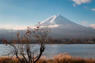 河口湖より望む朝日を浴びる富士山と柿の木の写真素材 [FYI01782005]