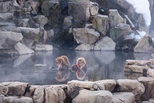 地獄谷野猿公苑にて撮影した温泉に浸かる猿の群れの写真素材 [FYI01782079]