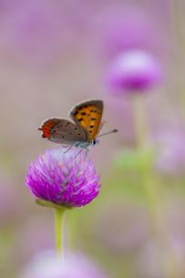 チョウ ベニシジミ 花の写真素材 [FYI01782122]