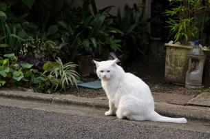 路上に座ってカメラを見るオッドアイの白猫の写真素材 [FYI01782132]