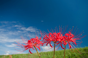 青空 雲 空 ヒガンバナの写真素材 [FYI01782171]