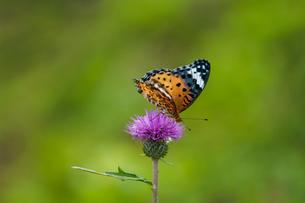 チョウ タテハチョウ の写真素材 [FYI01782241]