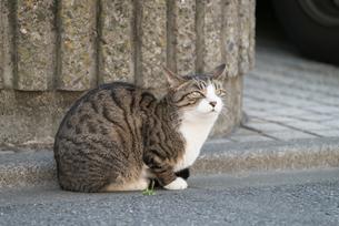 路上に座って上方を見上げる外猫の写真素材 [FYI01782316]