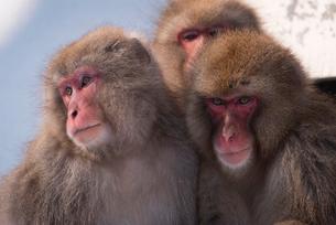 地獄谷野猿公苑にて撮影した一箇所に集まる3匹の猿の写真素材 [FYI01782356]