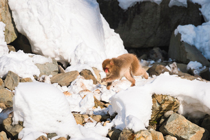 地獄谷野猿公苑にて撮影した雪景色と走る猿の写真素材 [FYI01782453]