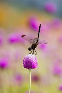 トンボ 花の写真素材 [FYI01782465]