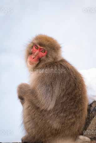 地獄谷野猿公苑にて撮影した座る猿の写真素材 [FYI01782525]