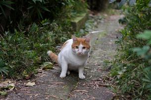 何かに気がづいた茶トラの外猫の写真素材 [FYI01782527]
