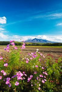 斜里岳とコスモスの写真素材 [FYI01782533]