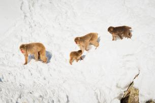 地獄谷野猿公苑にて撮影した雪景色と移動する猿の群れの写真素材 [FYI01782561]
