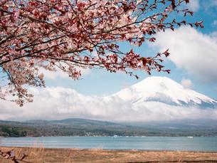 山中湖より望む富士山と桜の花の写真素材 [FYI01782650]