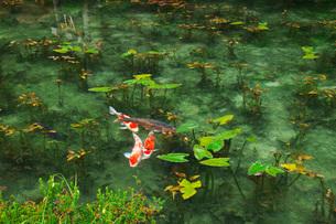 モネの池 名もなき池の写真素材 [FYI01782685]