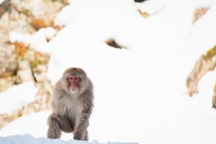 地獄谷野猿公苑にて撮影した雪景色と猿の写真素材 [FYI01782739]