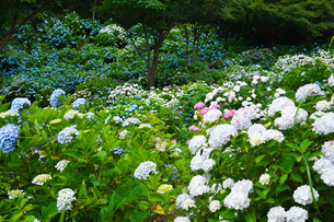 舞鶴自然文化園 アジサイ園の写真素材 [FYI01782771]