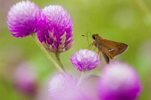 チョウ 花 イチモンジセセリの写真素材 [FYI01782821]