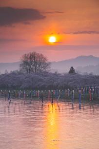 北上展勝地の桜と北上川の日の出の写真素材 [FYI01782855]