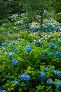 舞鶴自然文化園 アジサイ園の写真素材 [FYI01782886]