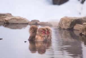 地獄谷野猿公苑にて撮影した温泉に浸かる猿の群れの写真素材 [FYI01782897]