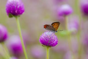チョウ ベニシジミ 花の写真素材 [FYI01782913]