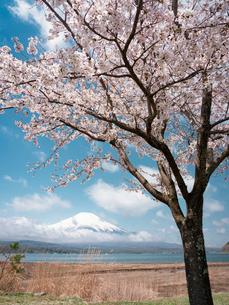 山中湖より望む富士山と桜の花の写真素材 [FYI01783029]