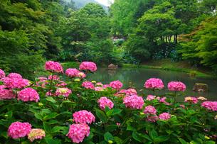 舞鶴自然文化園 アジサイ園の写真素材 [FYI01783039]