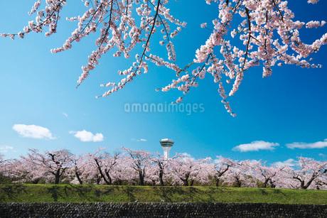 五稜郭公園の桜と五稜郭タワーの写真素材 [FYI01783093]