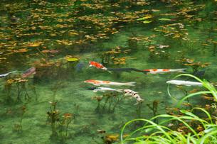 モネの池 名もなき池の写真素材 [FYI01783113]