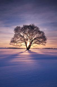 はるにれの木 日の出の写真素材 [FYI01783114]