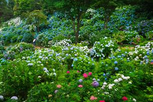 舞鶴自然文化園 アジサイ園の写真素材 [FYI01783163]